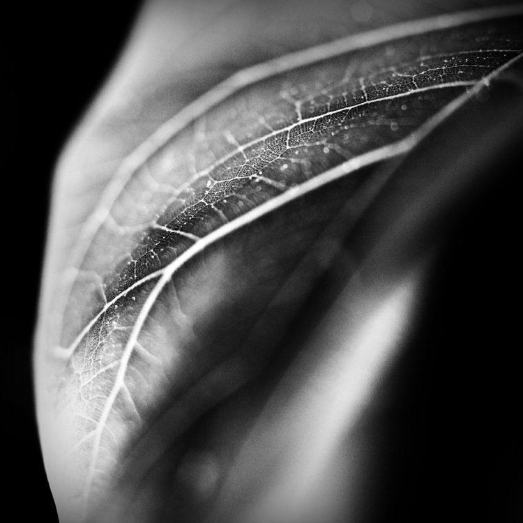 Ficus-Leaf
